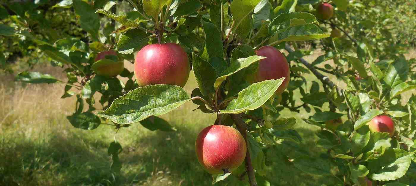 Meyve Ağaçlarında Budama